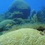 brain coral (4)