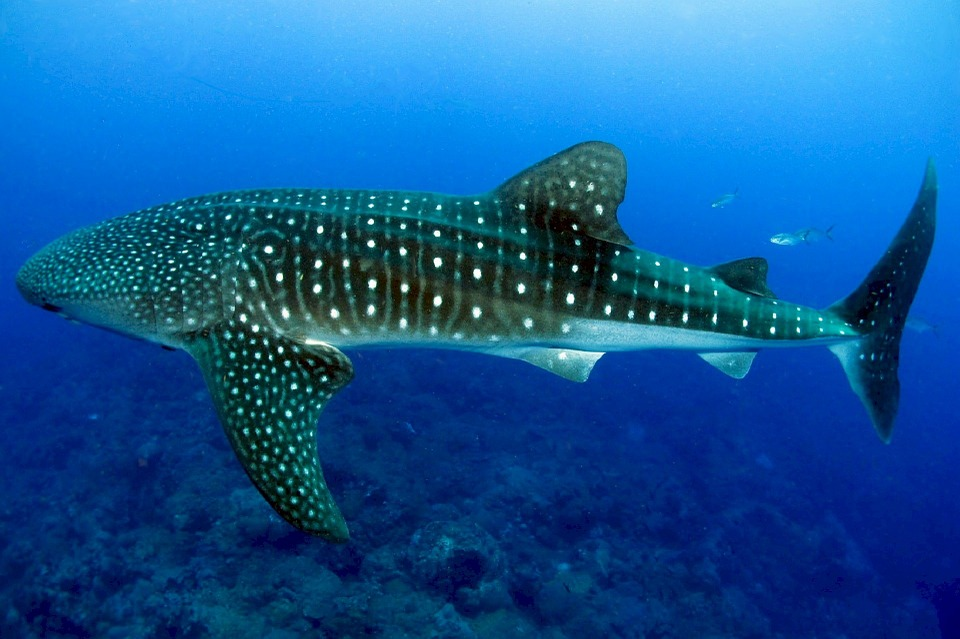 whale-shark-936691_960_720