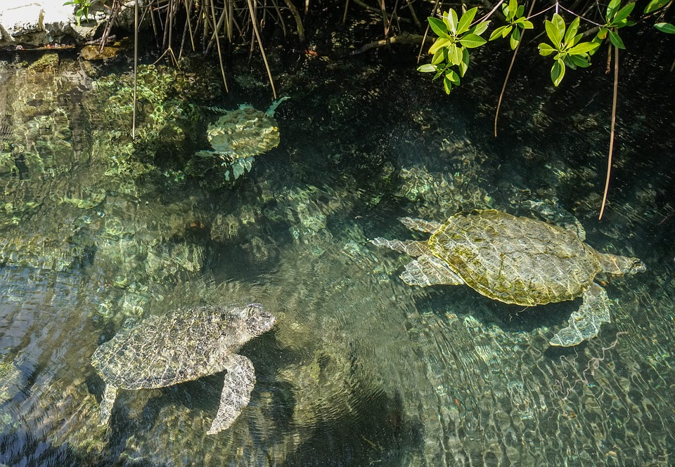 sea-turtles-1229713_960_720